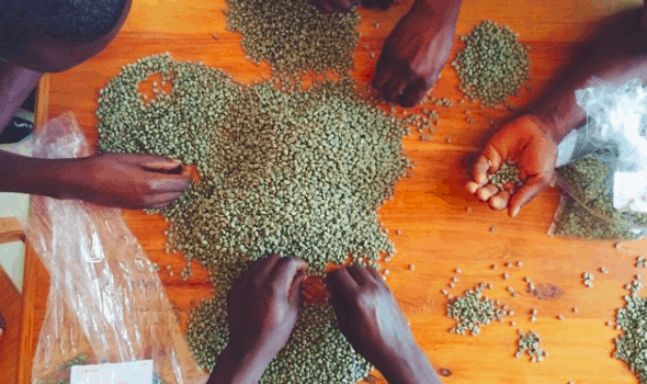Green Coffee being sorted by Kristy Carlson